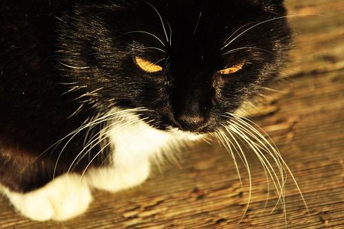 Katze Pigmentflecken Pigmentstörungen Pigmentveränderungen Foto Brigitte Stolle 2015