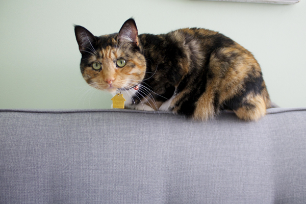calico tortie cat
