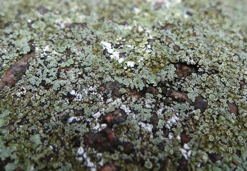 Chewing Gum Lichen