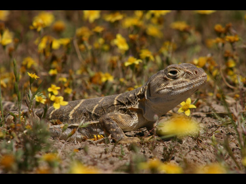 Blunt nosed leopard lizard gambelia sila female blunt for California department of fish and wildlife jobs