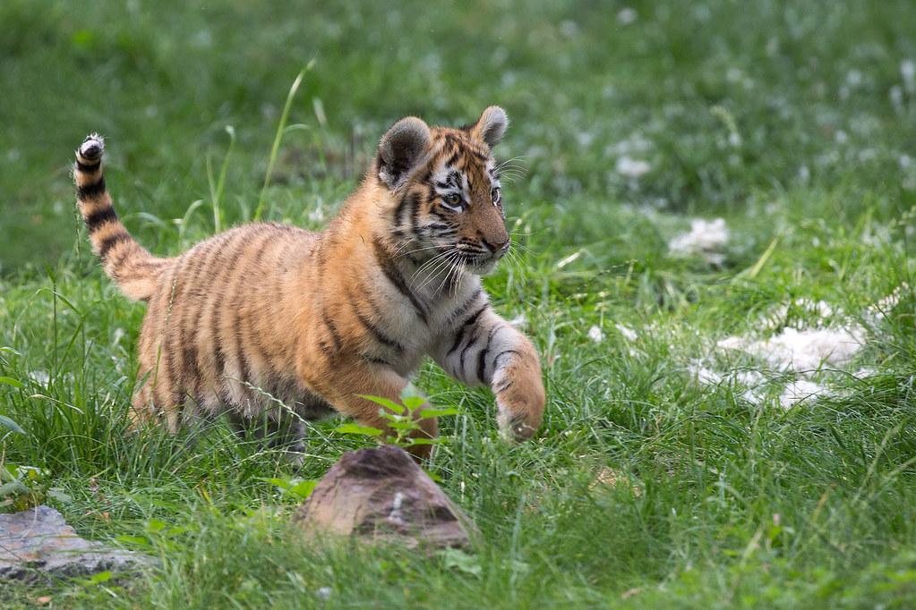 3 monate sind die tigerbabys im duisburger zoo jetzt alt u flickr. Black Bedroom Furniture Sets. Home Design Ideas