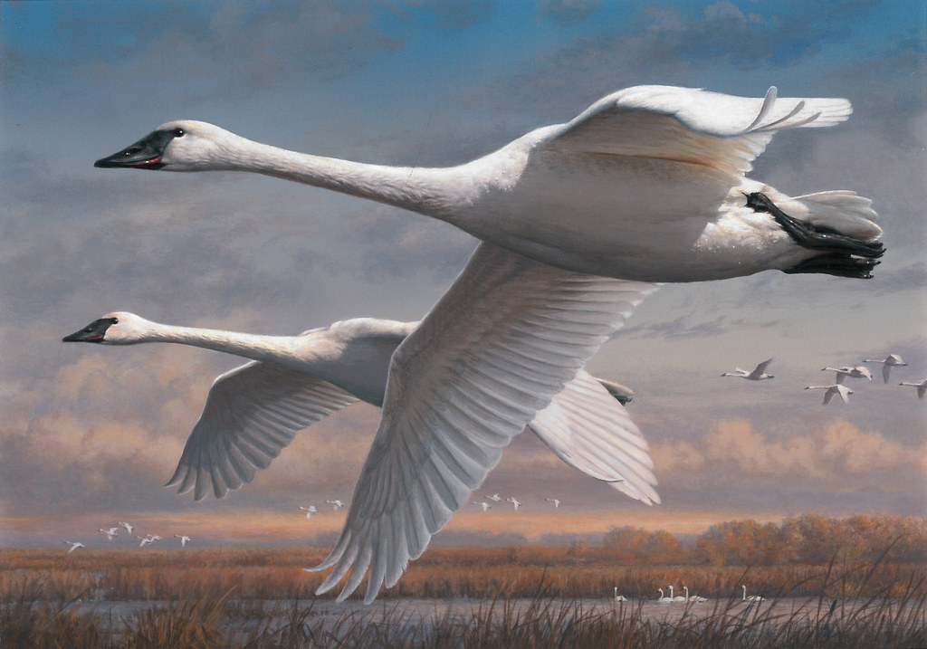 The winner of the 2015 Federal Duck Stamp Art Contest is Joseph Hautman of Plymouth, Minn., with his acrylic painting of a pair of Trumpeter Swans. This will be Hautman's fifth Federal Duck Stamp - making him one of only 2 artists to achieve five wins.
