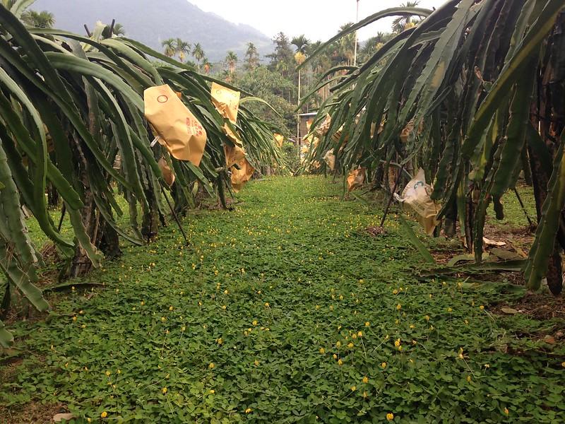 以蔓花生抑制雜草、友善環境種植的火龍果。攝影:廖靜蕙