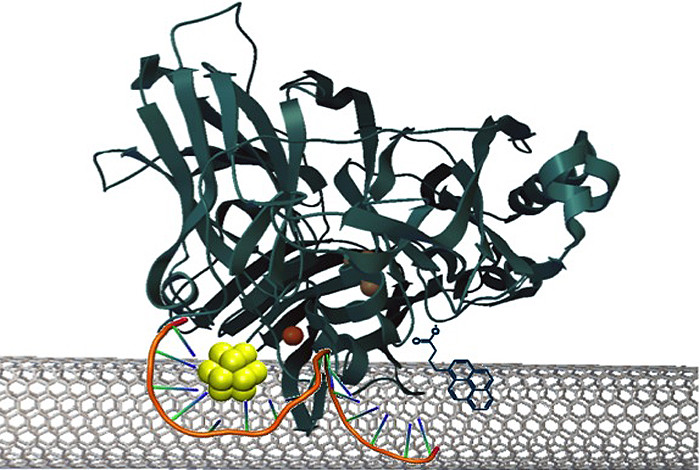 Gold nanoclusters (~1 nm) are efficient mediators of electron transfer between co-self-assembled enzymes and carbon nanotubes in an enzyme fuel cell.  The efficient electron transfer from this quantized nano material minimizes the energy waste and improves the kinetics of the oxygen reduction reaction, toward a more efficient fuel cell cycle.