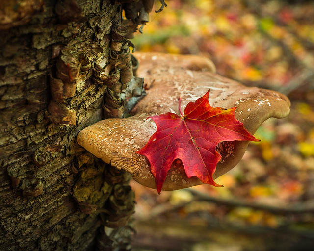 Fall Leaves, Shelf Mushroom, Maple Leaf, Autumn, Autumn leaves, Autumn color
