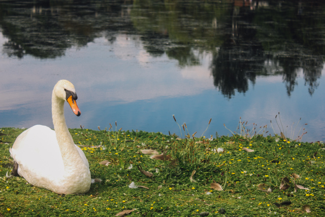 swan at roath park