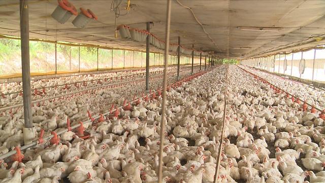 現代養雞場如同雞的都會區。圖片來源:天馬行空數位有限公司
