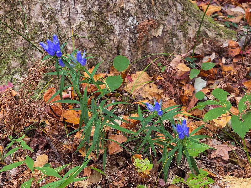 Soapwort Gentian plants