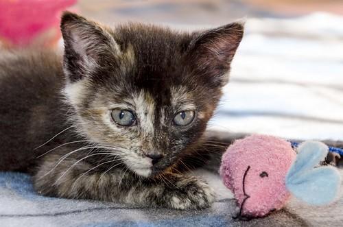 Eclipse, gatita carey dulcísima de cara bicolor espectacular nacida en Octubre´16, en adopción. Valencia. ADOPTADA. 31000849090_e8cbd9d2a5