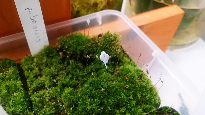 Utricularia pubescens.