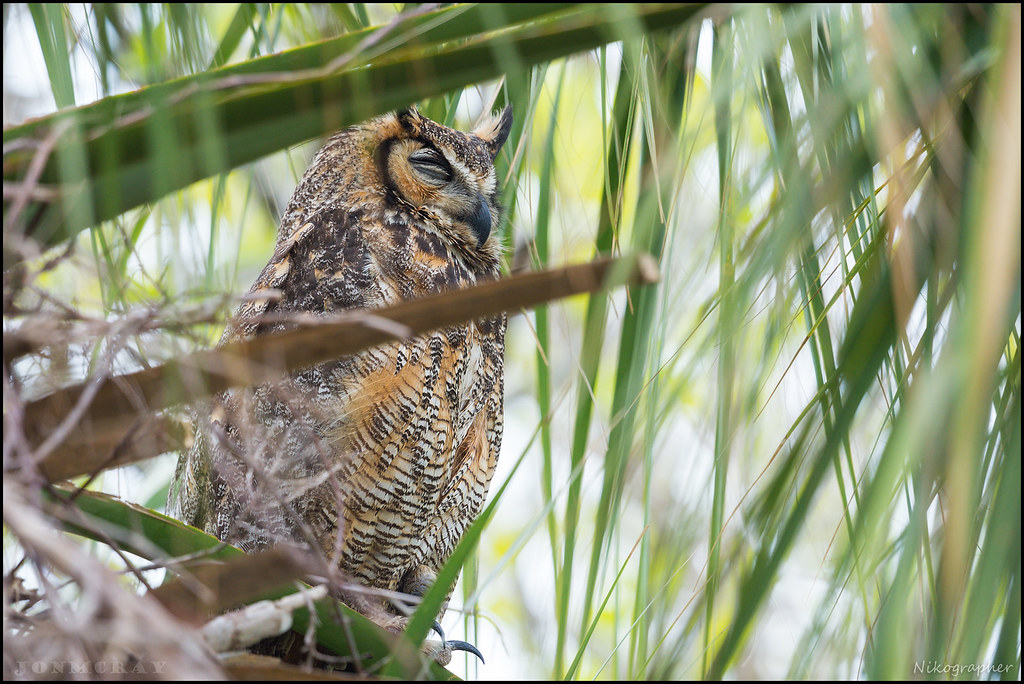 Great Horned Owl - Fort De Soto Florida