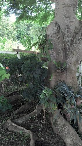green lizard in ponticia tree