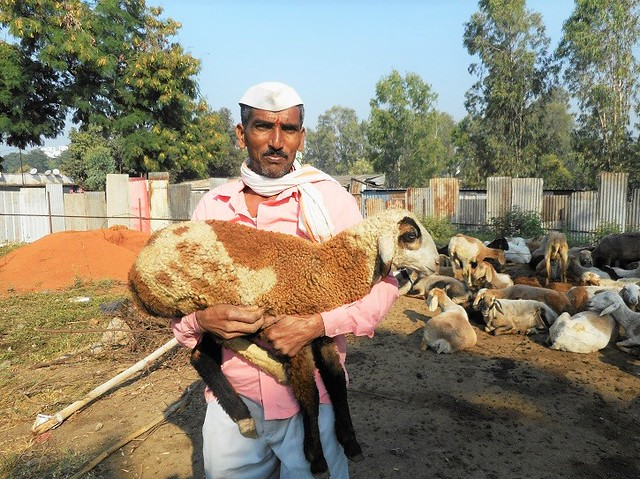 Locals often buy sheep from them for religious festivals. The Dhangars also sell sheep wool in the cities. Sheep milk is also sold on demand but it is mostly used at their homes.
