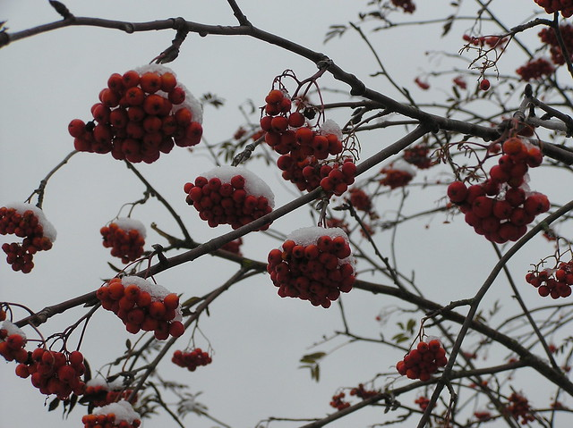 Sorbus acuparia
