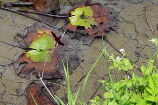 蜻蜓是水田生態健全的象徵。圖文:廖靜蕙