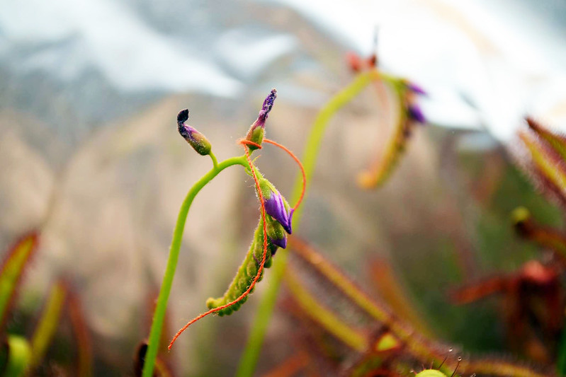 Cross-pollinating Drosera flowers.