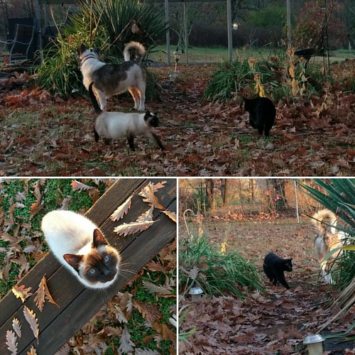 These three are like the Musketeers. One goes outside, they all have to go outside.   #nofilter #catsofinstagram #dogsofinstagram #akita #rescue #siamese #blackcat #siamesecat #dogs #cats #dog #cat #formerferal #adopt #akita #akitainu #americanshorthair #