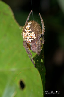 Orb weaver spider (Eriophora sp.) - DSC_4032