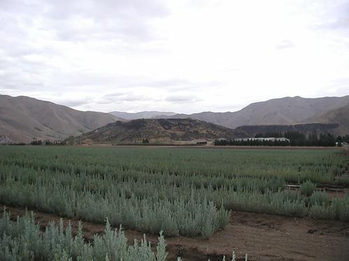 One-year old sagebrush seedlings grown in production fields at the Lucky Peak Nursery in Idaho
