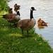 Canada Geese among the Ducks