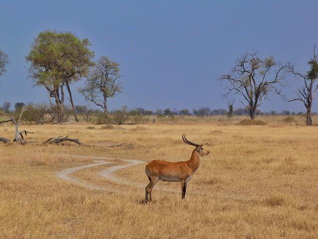 Lechwe en Moremi (Botswana)