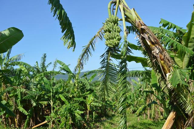位於花蓮縣水璉牛山的「以時生態農園」盛產芭蕉。(攝影:謝宗璋)
