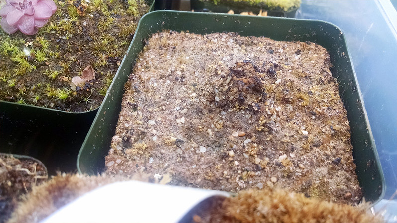Drosera cistiflora...hopefully.