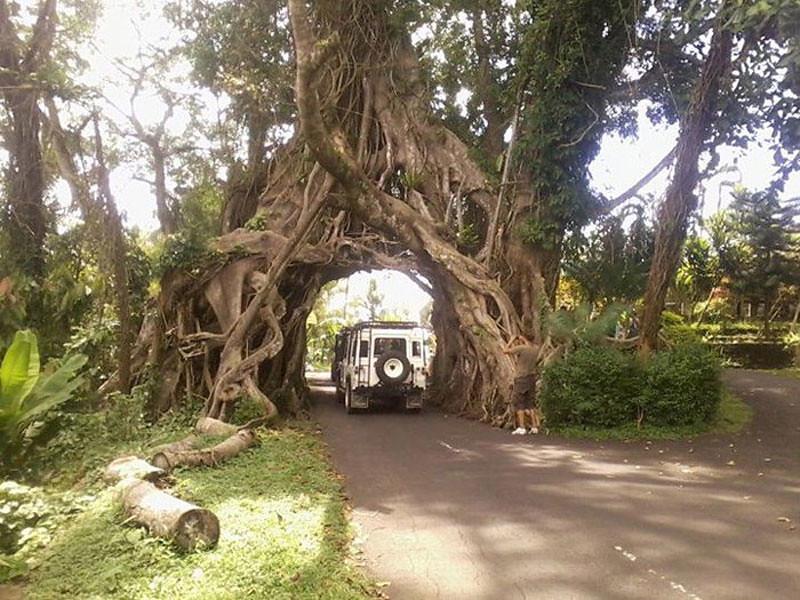 Bunut Bolong Tree