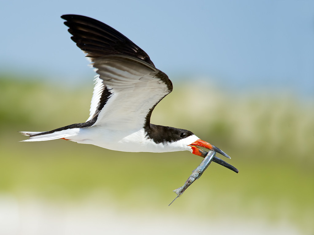 Black Skimmer with Northern Pipefish | Explored #187 ...