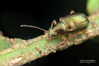 Leaf beetle (Chrysomelidae) - DSC_0415