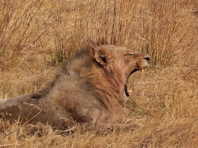 León macho bostezando en Moremi (Botswana)