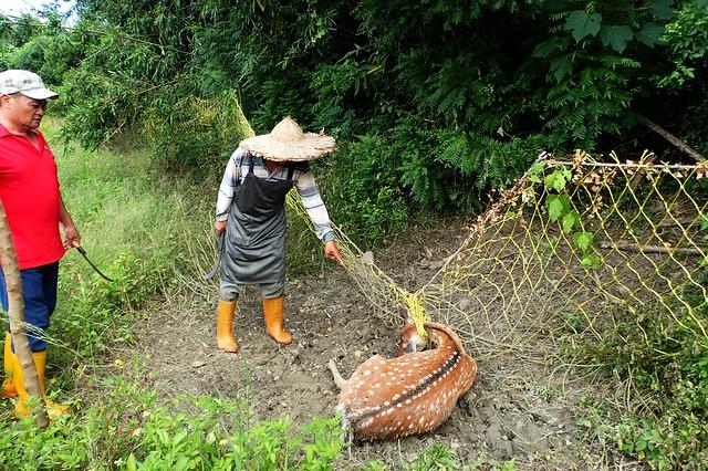 一些梅花鹿因卡網而死亡。圖:墾丁國家公園管理處提供