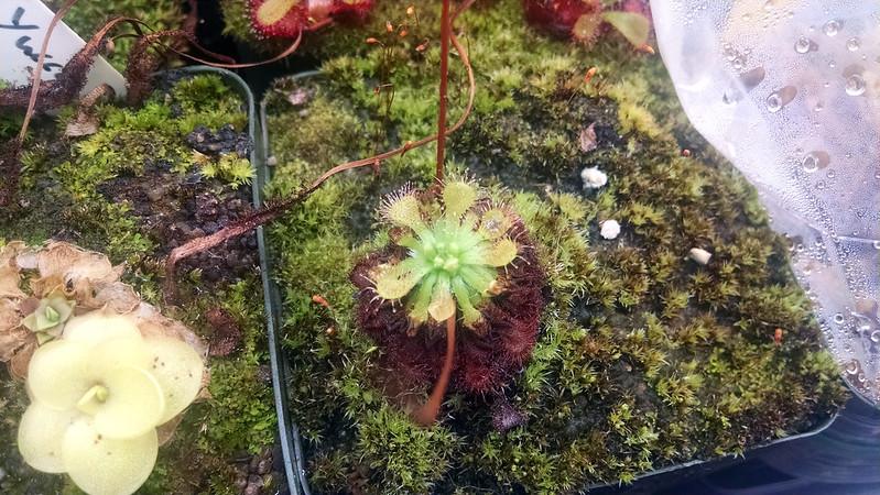 Drosera capillaris 'Emerald's Envy.'