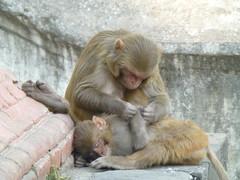 Affen in Bhaktapur