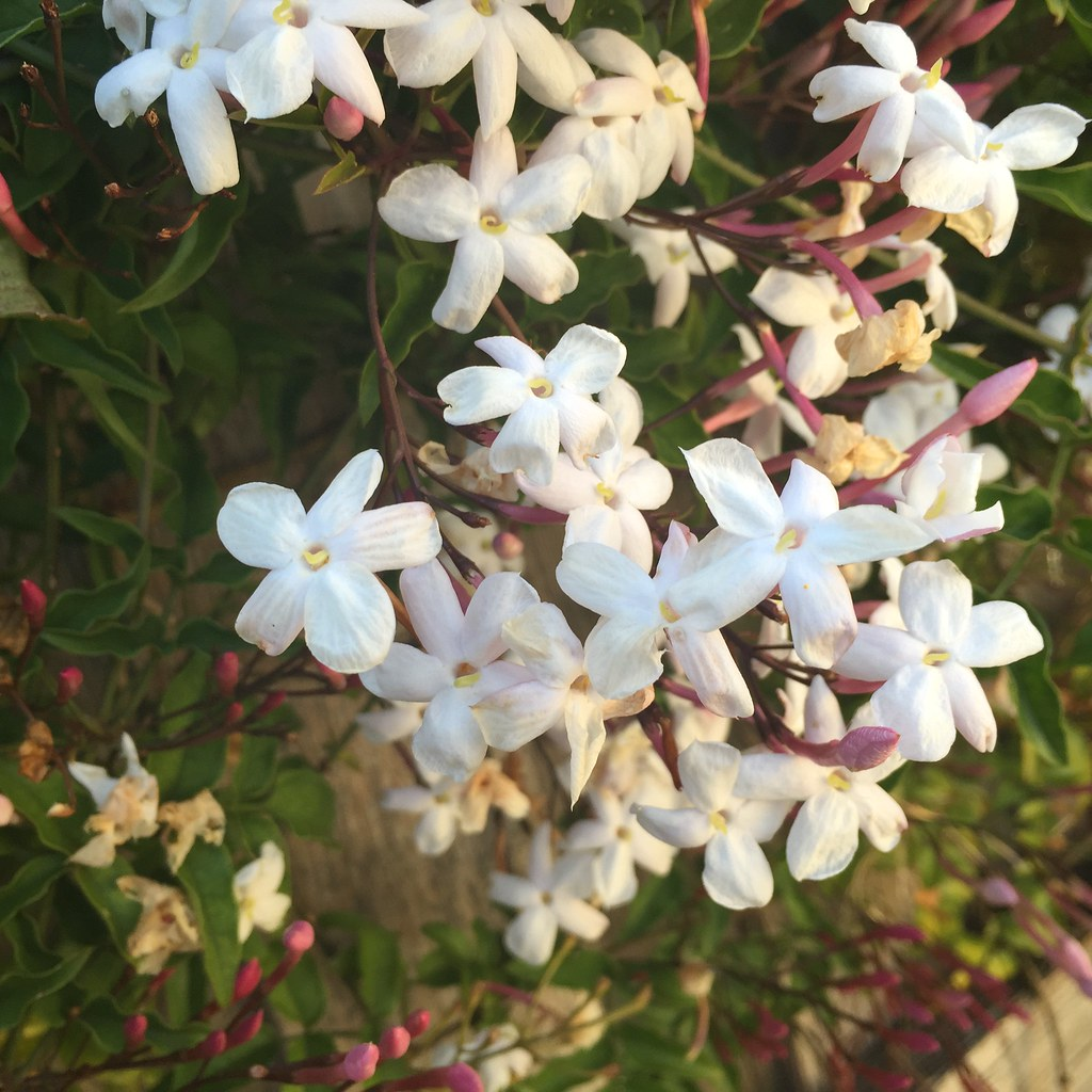 beautifully scented jasmine blossom on the plant in the back yard