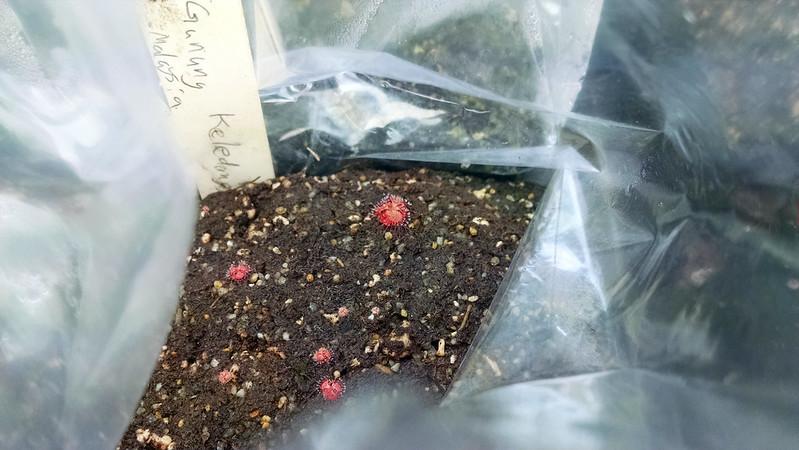 Drosera burmannii Gunung Keledang seedlings.