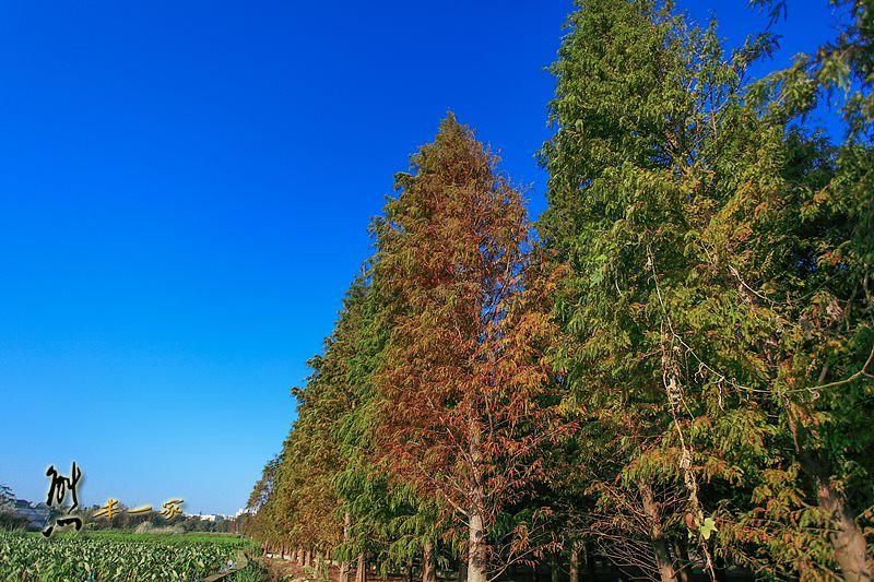 桃園八德落羽松秘境|落羽松森林
