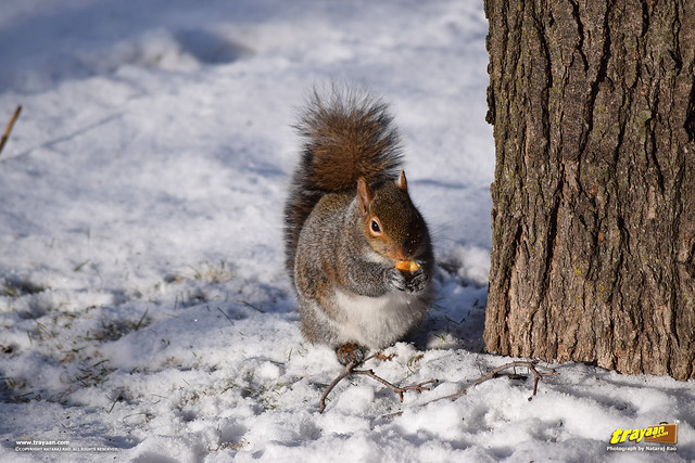 Eastern Gray Squirrel in Minnesota, during winter