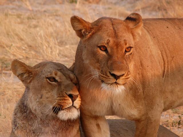 Leonas en Savuti (Chobe NP, Botswana)