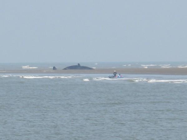 歷經11小時拖出海,卻於18日清晨8時許,網友許緯進與朋友發現這隻抹香鯨不敵死神召喚,死亡擱淺在八掌溪出海口。(圖許緯進提供)