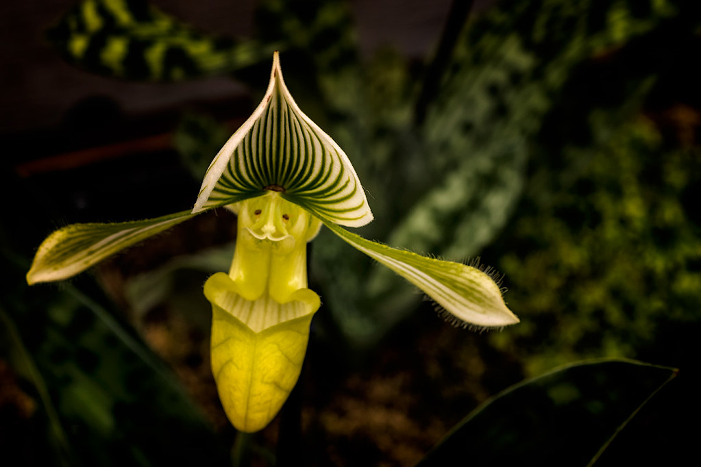 Orchideæ: Green Lady Slipper