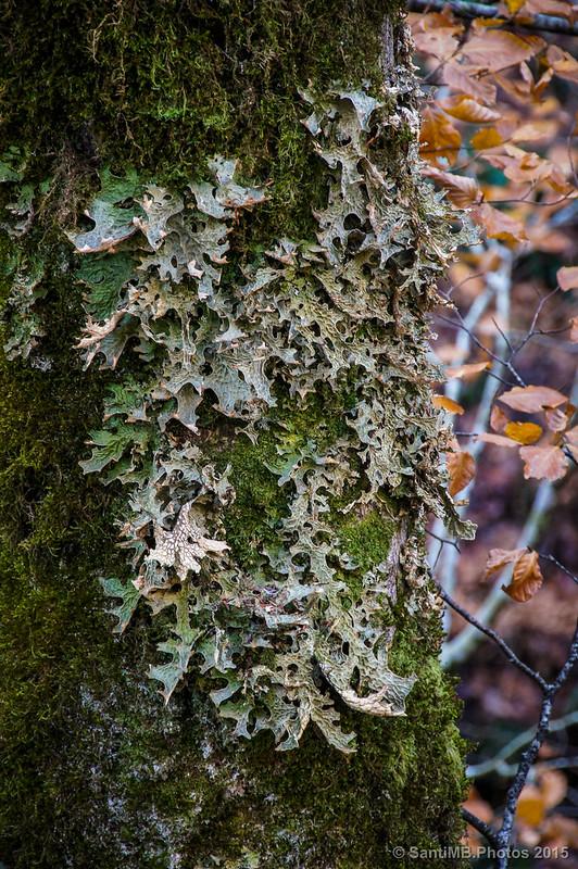 Liquen con aspecto de hojas en una corteza de árbol