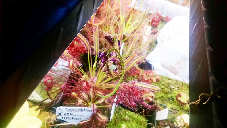 Drosera capensis red for flower stalk.
