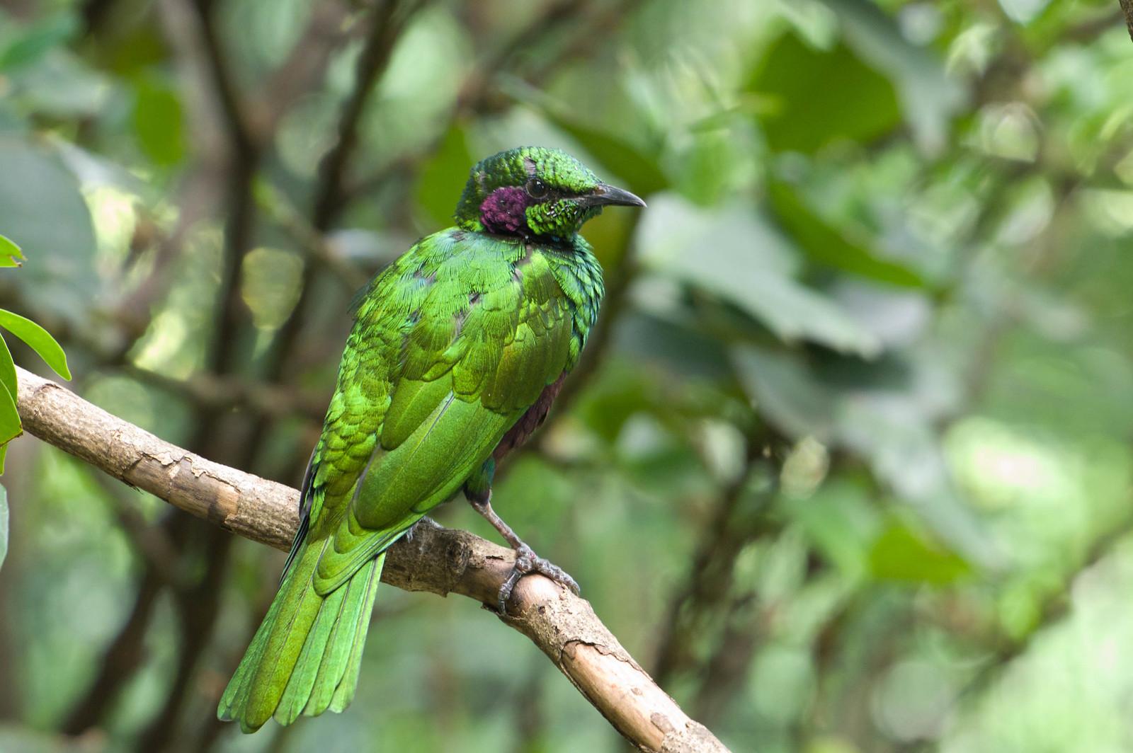 不知名的綠雀