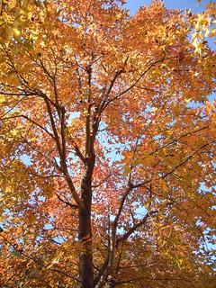 呈現黃紅色的楓香葉。圖片攝影:文起祥。