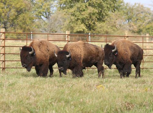 Bison arriving on the Midewin National Tallgrass Prairie