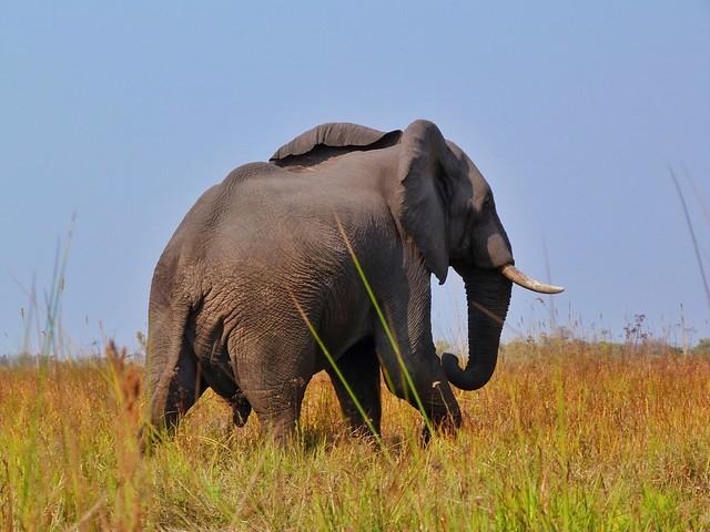 Elefante en el Delta del Okavango (Botswana)