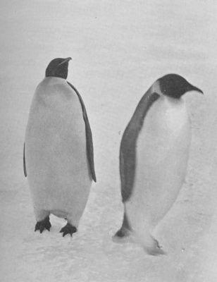 Αυτοκρατορικοί πιγκουίνοι