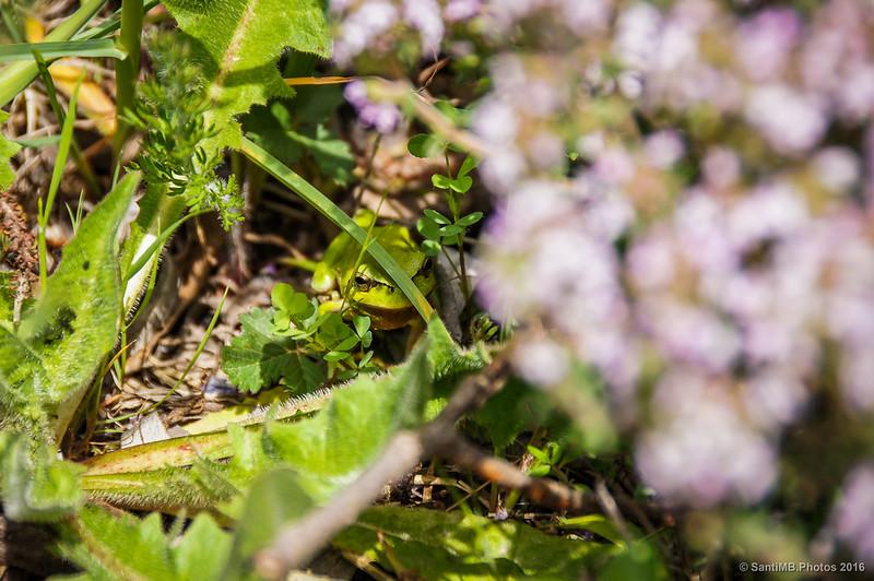Una ranita meridional (Hyla meridionalis)