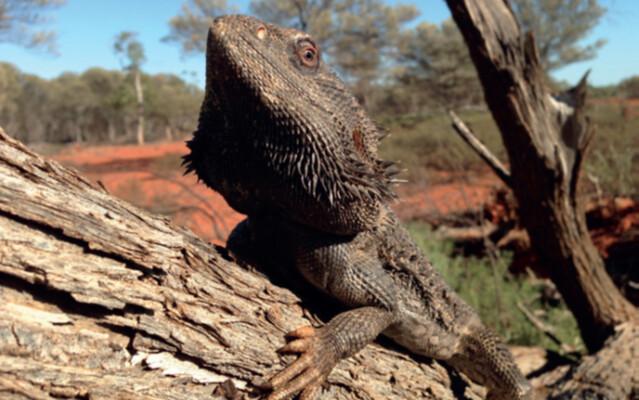 鬃獅蜥。圖片來源:James J. Bull, Evolution: Reptile sex determination goes wild